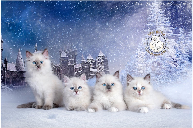 "Litter ""C"" сибирские невские маскарадные котята"