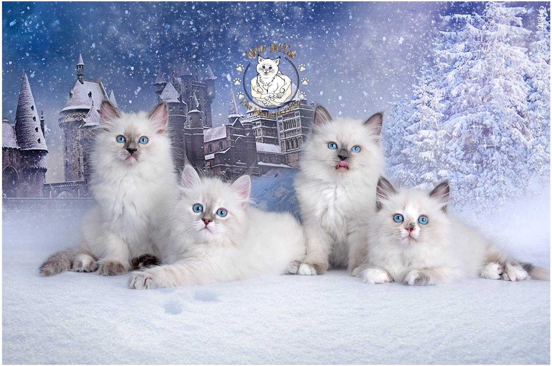 "Litter ""С"" сибирские невские маскарадные котята"
