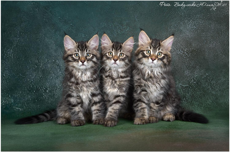 LITTER E Традиционные Сибирские котята