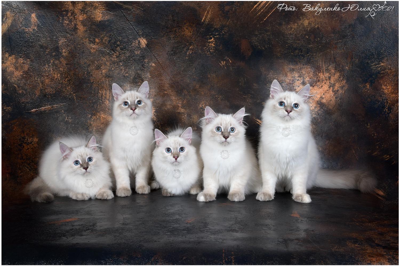 "Litter ""F"" невские маскарадные котята"