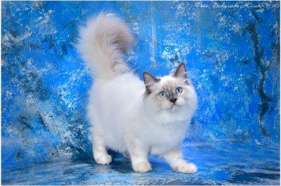 Aisha White Buffao сибирская невская маскарадная кошка